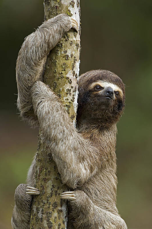 Mp Poster featuring the photograph Brown-throated Three-toed Sloth by Ingo Arndt