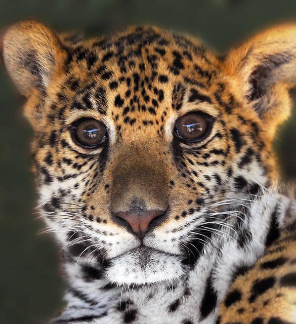 Cheetah Poster featuring the photograph Cheetah by Craig Incardone