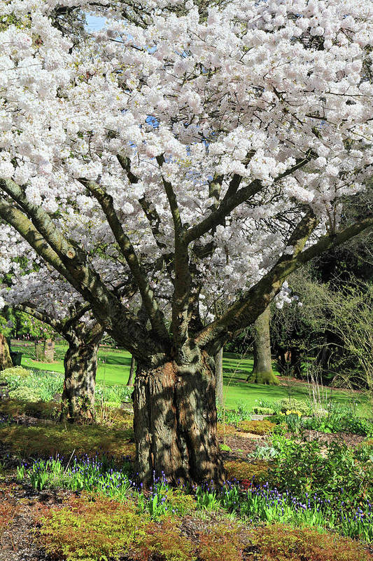 Cherry Poster featuring the photograph Cherry Blossom Tree by Pierre Leclerc Photography