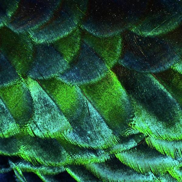 Square Poster featuring the photograph Close Up Of Peacock Feathers by MadmàT