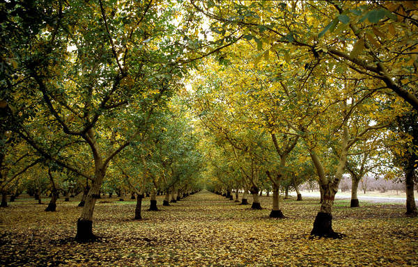 Trees Poster featuring the photograph Fall Orchard by Kathy Yates