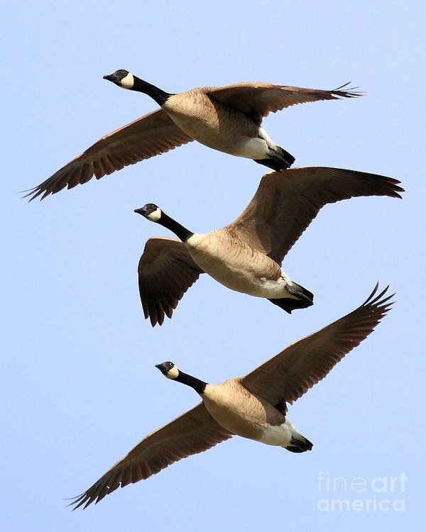 Bird Migration Poster featuring the photograph Flight Of Three Geese by Wingsdomain Art and Photography