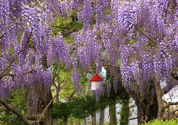 Hdr Poster featuring the photograph Flower - Wisteria - A House Of My Own by Mike Savad