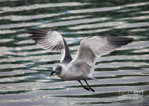 Flying Seagull Poster featuring the photograph Flying Seagull by Carol Groenen