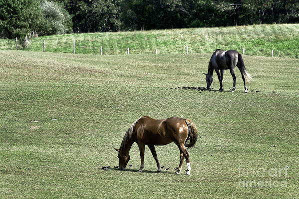 Martha's Vineyard Poster featuring the photograph Grazing Horses by John Greim