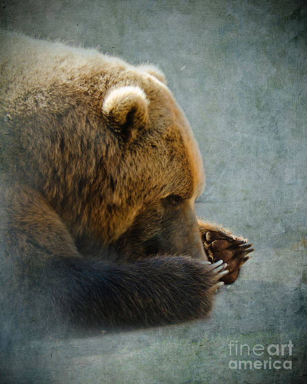 Bear Poster featuring the photograph Grizzly Bear Lying Down by Betty LaRue