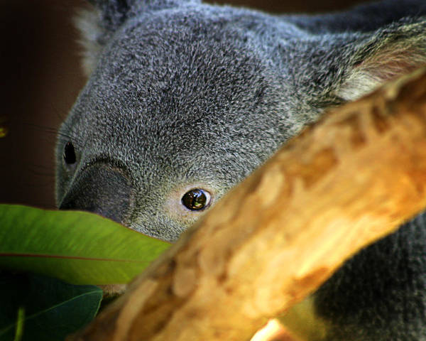 Zoo Poster featuring the photograph Koala Bear by Anthony Jones