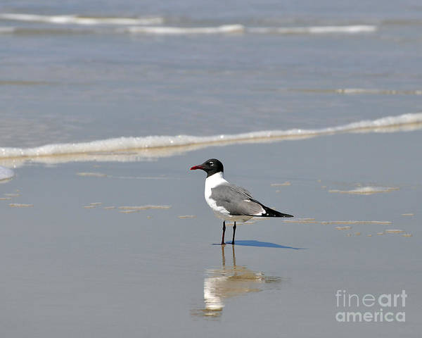 Laughing Gull Poster featuring the photograph Laughing Gull Reflecting by Al Powell Photography USA