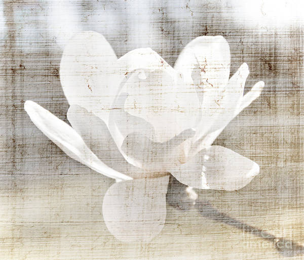 Magnolia Poster featuring the photograph Magnolia Flower by Elena Elisseeva