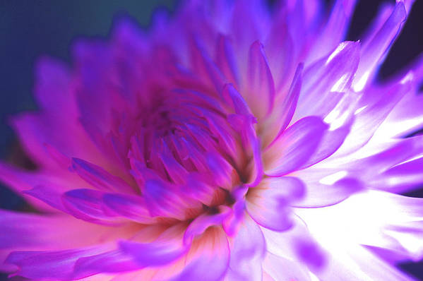 Dahlia Photographs Poster featuring the photograph Mod Dahlia by Kathy Yates
