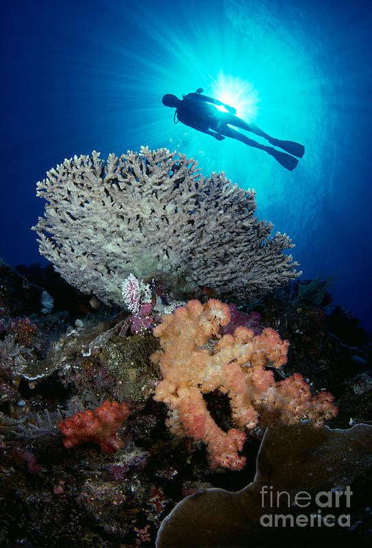 Alcyonarian Poster featuring the photograph Palau, Diving by Dave Fleetham - Printscapes
