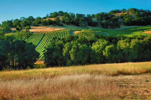 Vines Poster featuring the photograph Paso Robles Vineyard by Steven Ainsworth