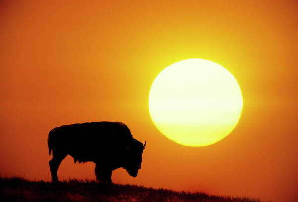 Horizontal Poster featuring the photograph Plains Bison (bison Bison), Digital Composite by Altrendo Nature