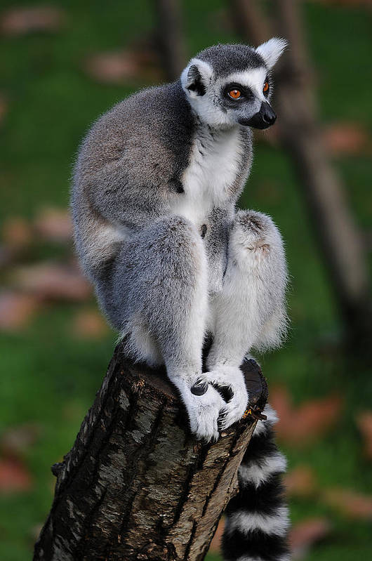 Lemur Poster featuring the photograph Pondering by Alessandro Matarazzo