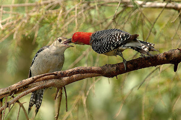 Red Bellied Woodpecker Poster featuring the photograph Red Bellied Woodpeck Feeding Young by Alan Lenk