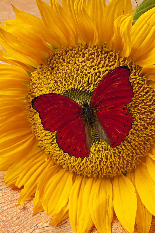 Red Butterfly Sunflower Poster featuring the photograph Red Butterfly On Sunflower by Garry Gay