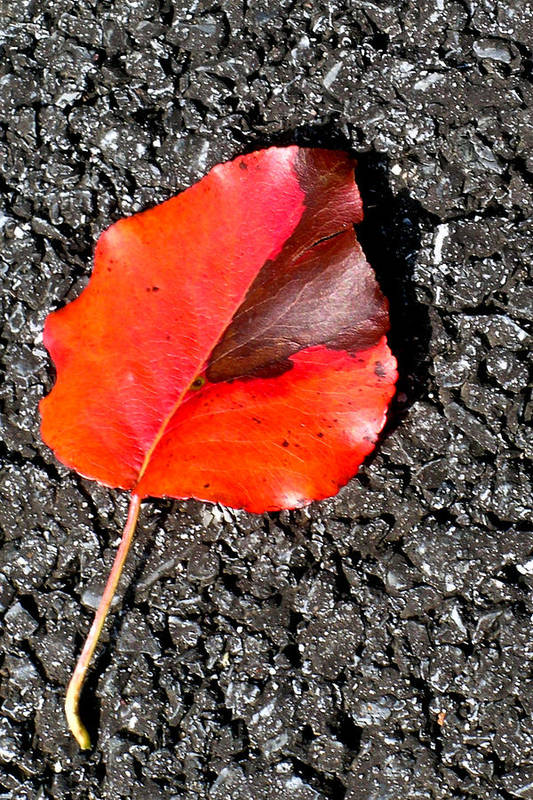 Red Poster featuring the photograph Red Leaf On Asphalt by Douglas Barnett