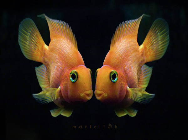 Horizontal Poster featuring the photograph Red Parrot Fish by MariClick Photography