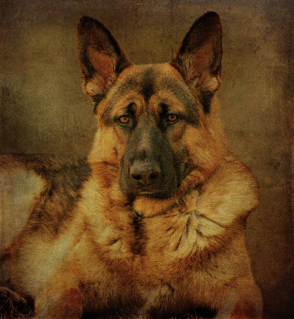 German Shepherd Dog Poster featuring the photograph Serious by Sandy Keeton