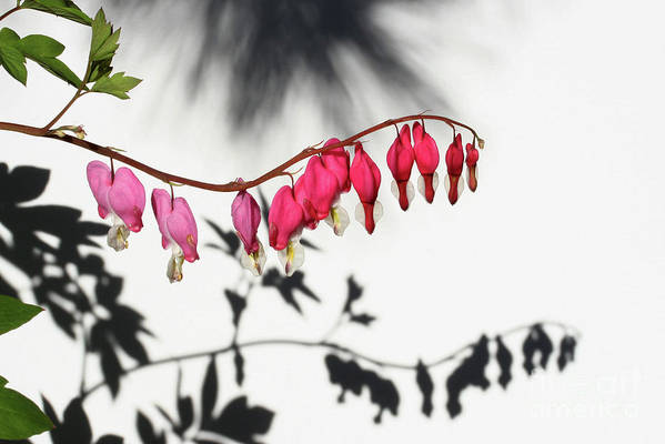 Bleeding Hearts Poster featuring the photograph Shadow Hearts by Steve Augustin