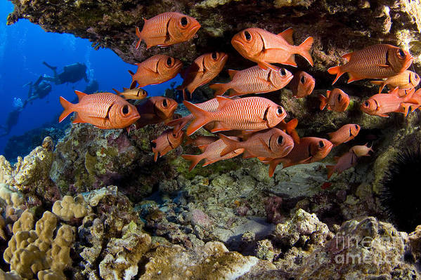 Animal Art Poster featuring the photograph Shoulderbar Soldierfish by Dave Fleetham - Printscapes