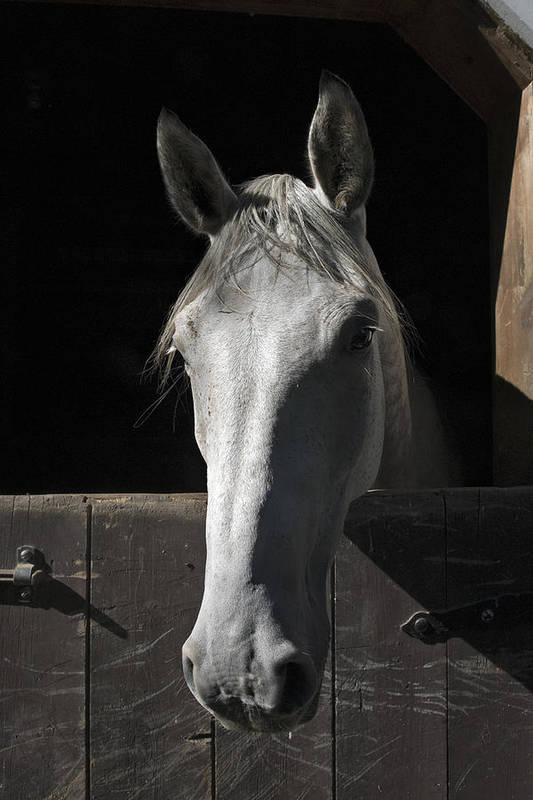 Horse Poster featuring the photograph Silver by Jack Goldberg
