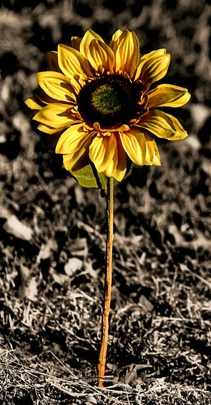 Flower Poster featuring the photograph Simplicity by Karen M Scovill
