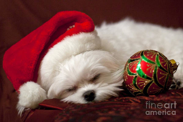 Maltese Poster featuring the photograph Sleepy Time by Leslie Leda