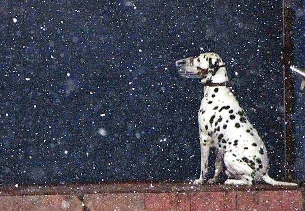 The Winter A Dog Waits For The Owner Cold Snow Poster featuring the photograph Snow Dog by Yury Bashkin