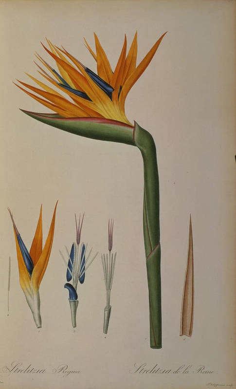 Strelitzia Poster featuring the painting Strelitzia Reginae by Pierre Joseph Redoute