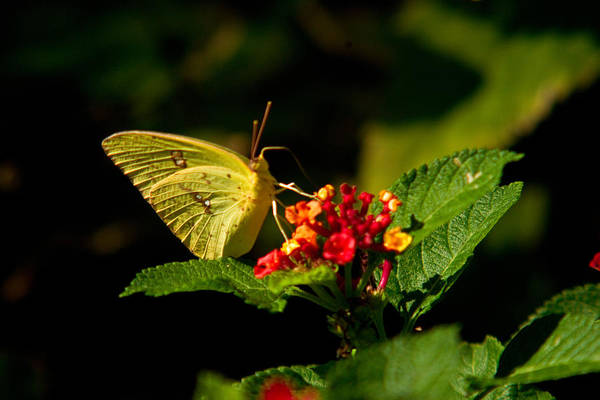 Arkansas Poster featuring the photograph Sulpher Butterfly On Lantana by Douglas Barnett