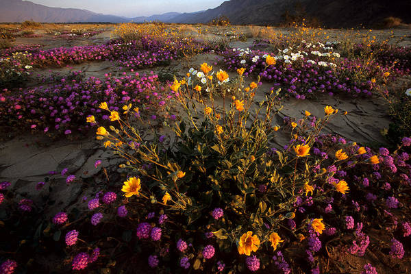 Anza-borrego Desert State Park Poster featuring the photograph Sunrise On Desert Wildflowers by Tim Laman