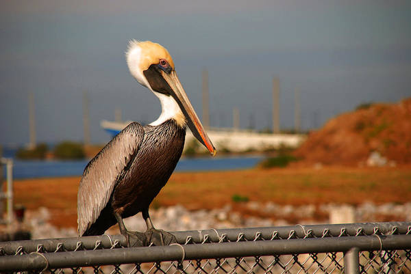 Pelican Poster featuring the photograph The Most Beautiful Pelican by Susanne Van Hulst
