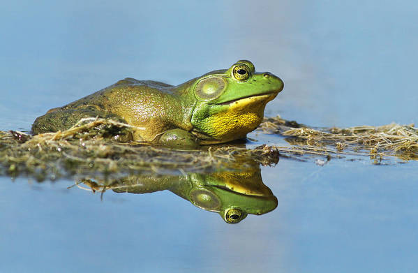 Frog Poster featuring the photograph The Pond King by Mircea Costina Photography