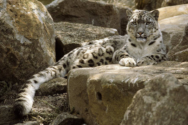 Snow Leopard Poster featuring the photograph The Watchful Stare Of A Snow Leopard by Jason Edwards