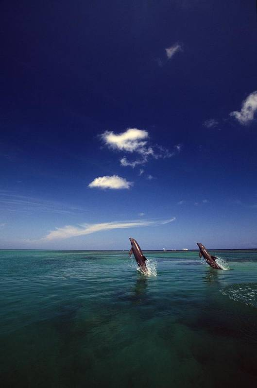 Outdoors Poster featuring the photograph Two Bottlenose Dolphins Dancing Across by Natural Selection Craig Tuttle