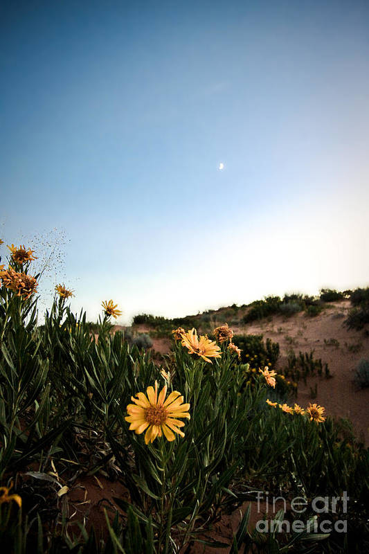 ryankellyphotography@gmail.com Poster featuring the photograph Utah Coral Sand Dune Flowers by Ryan Kelly