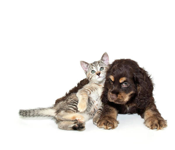 Horizontal Poster featuring the photograph Very Sweet Kitten Lying On Puppy by StockImage
