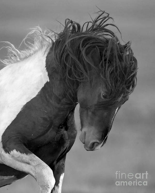 Wild Horses Poster featuring the photograph Wild Pinto Stallion by Carol Walker