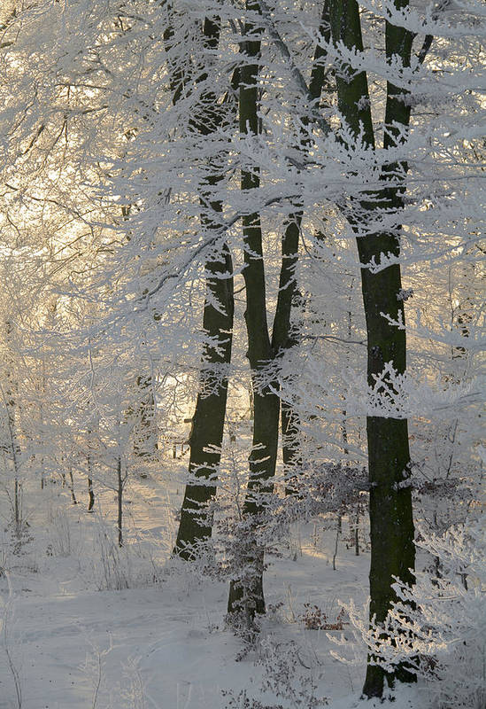 Forest Poster featuring the photograph Winter Sun by Odd Jeppesen