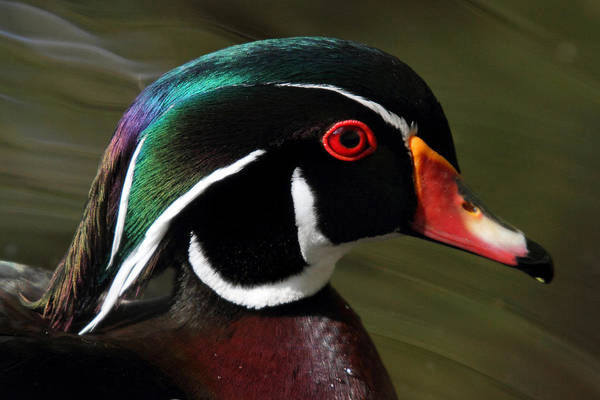 Wood Duck Poster featuring the photograph Wood Duck At Beaver Lake Stanley Park Vancouver Canada by Pierre Leclerc Photography
