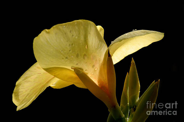Yellow Poster featuring the photograph Yellow Canna by Jeannie Burleson
