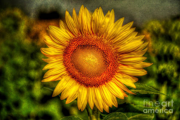 Hdr Print featuring the photograph Sunflower by Adrian Evans