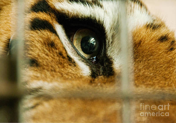 Prison Print featuring the photograph Tiger Behind Bars by Melody Watson