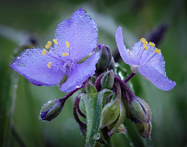 Tradescantia Print featuring the photograph Spiderwort by James Barber