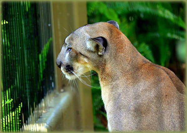Panthers Print featuring the photograph Florida Panther by Amanda Vouglas
