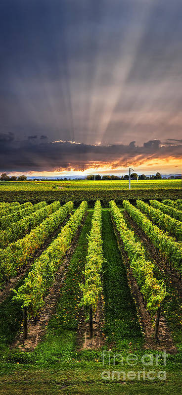Vineyard Print featuring the photograph Vineyard At Sunset by Elena Elisseeva