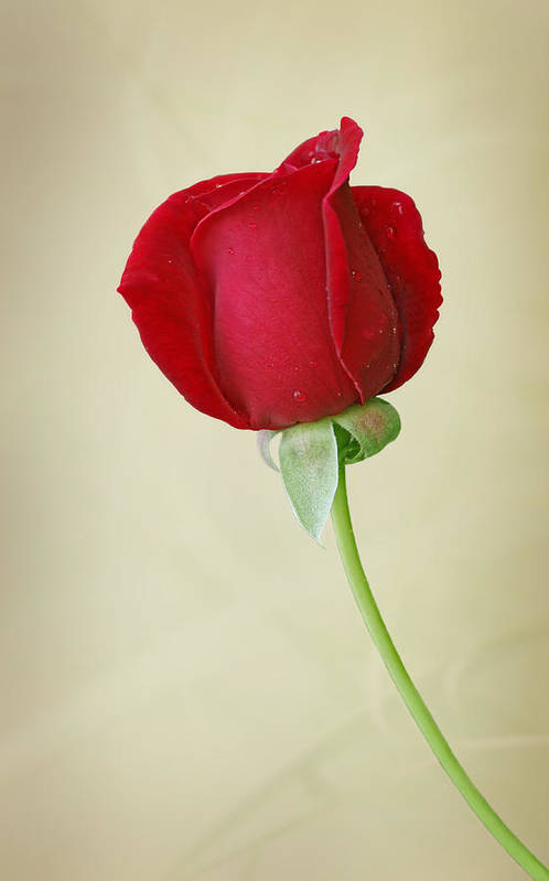 Rose Print featuring the photograph Red Rose On White by Sandy Keeton