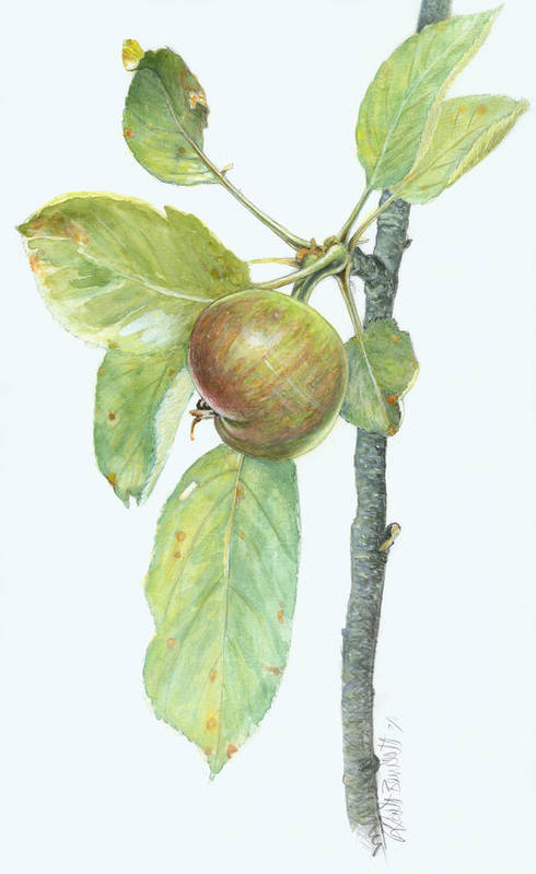 Apples Print featuring the painting Apple Branch by Scott Bennett