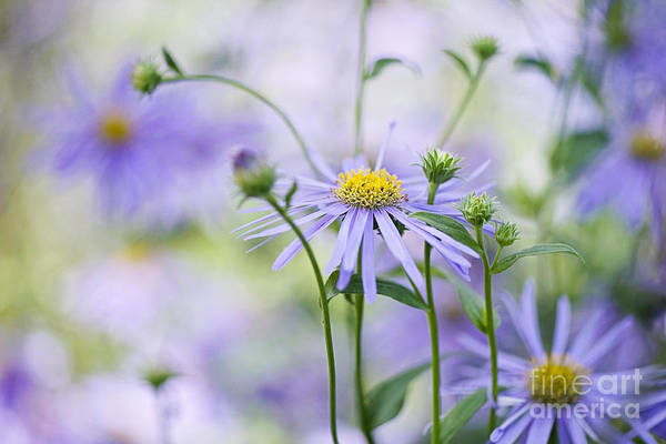 Aster X Frikartii Print featuring the photograph Autumn Asters by Jacky Parker
